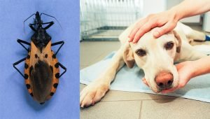 Chagas Disease In Dogs: Symptoms, Causes, & Treatments