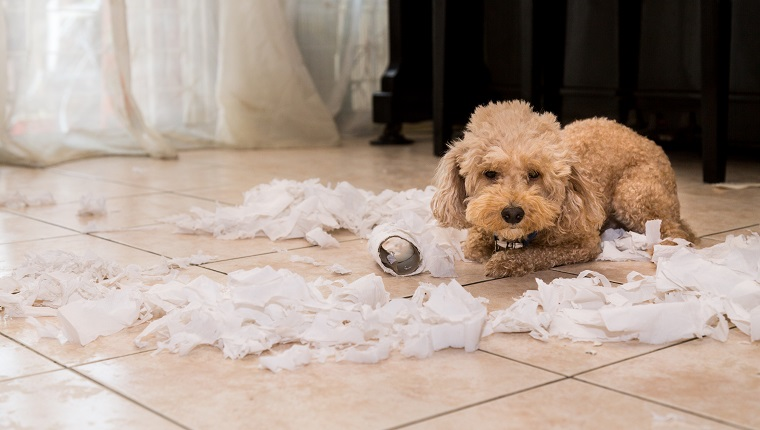 Remorseful naughty and bored dog destroyed tissue roll into pieces when home alone