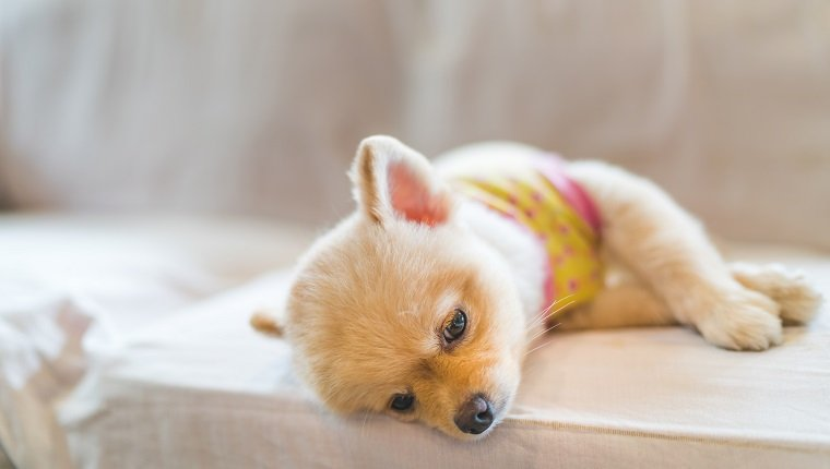 Tired and sleepy pomeranian dog wearing t-shirt, sleeping on sofa, with copy space, concept of hanging over or Monday work