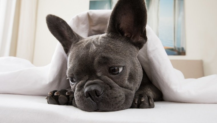 french bulldog dog relaxing or daydreaming in bedroom , thinking about life