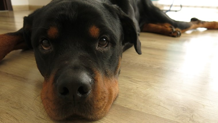 Rottweiler just woke up on the floor. His face expression is adorable.