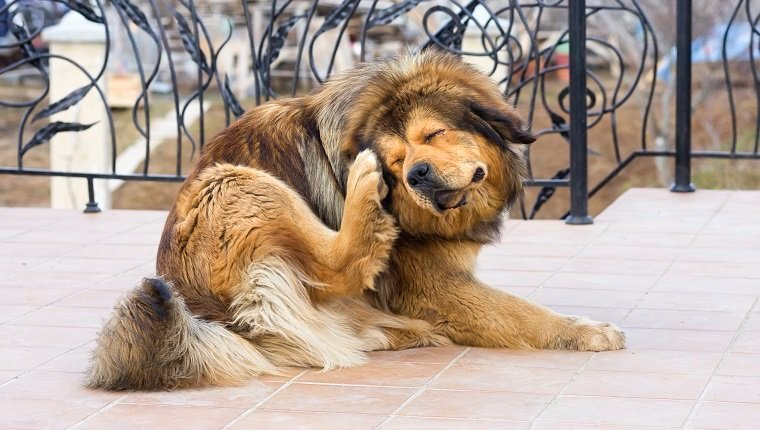 Tibetan Mastiff Dog Scratching Flea