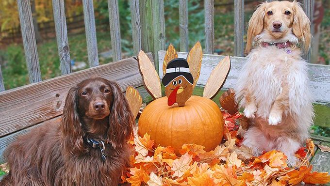 dogs on porch with pumpkin decorated as turkey