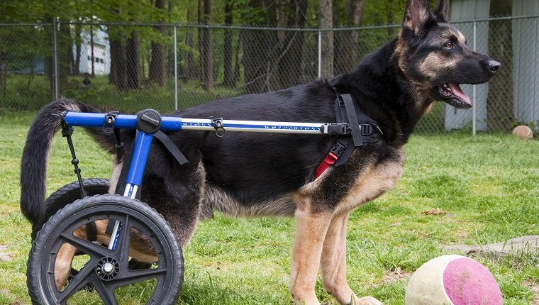 German Shepherd Dog in wheelchair ready to play ball