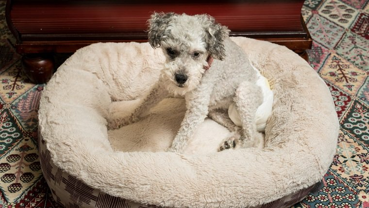 Old yorkshire terrier poodle mix dog sitting on her bed and wearing a doggy diaper for incontinence