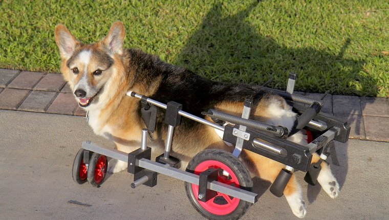 A corgi with canine degenerative myelopathy. (Photo by: Jeff Greenberg/UIG via Getty Images)
