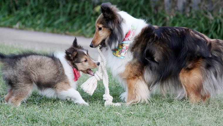 An adult Shetland Sheepdog shares her rope toy with the latest addition to the family.