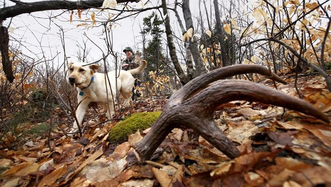 dog looking for antler in the woods