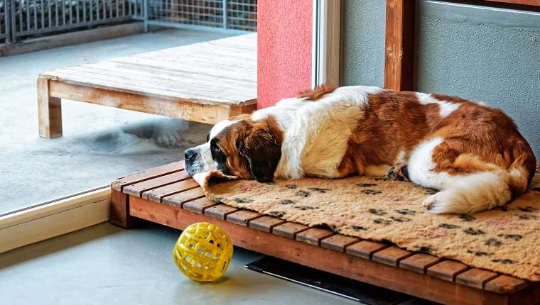 Saint Bernard dog lying in breeding kennel, Martigny, Switzerland