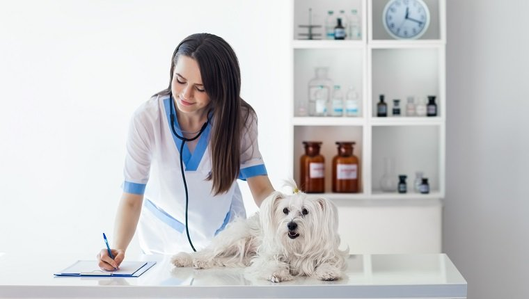 Veterinarian doctor writing prescription after cute white dog exam in clinic