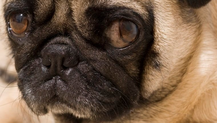 Close up of Pug with Bothered Expression