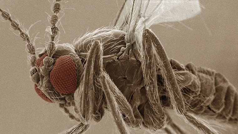 Coloured SEM of eye of sand fly (Ceratopogonidae)