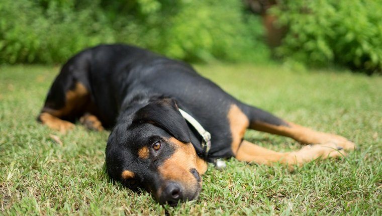 dog rottweiler nature
