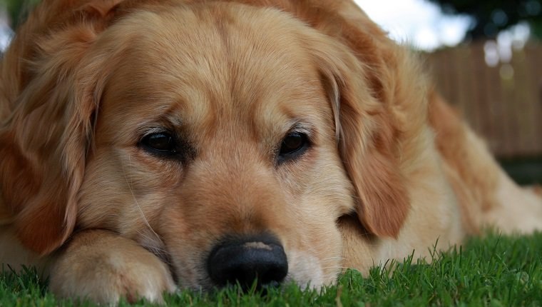 Sad golden retriever lying on the grass.