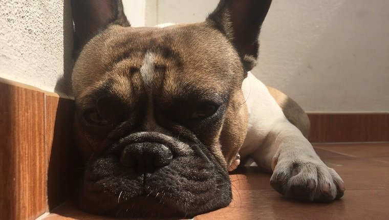 French bouledogue sleeping, bulldog, close-up