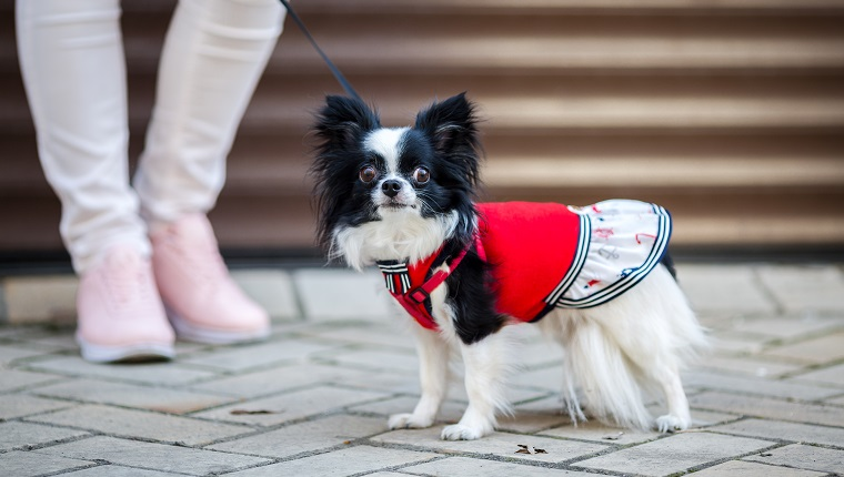 A black fluffy white, longhaired funny dog female sex with larger eyes, Chihuahua breed, dressed in red dress. animal stands at full height near feet of owner woman on background of garage outside.