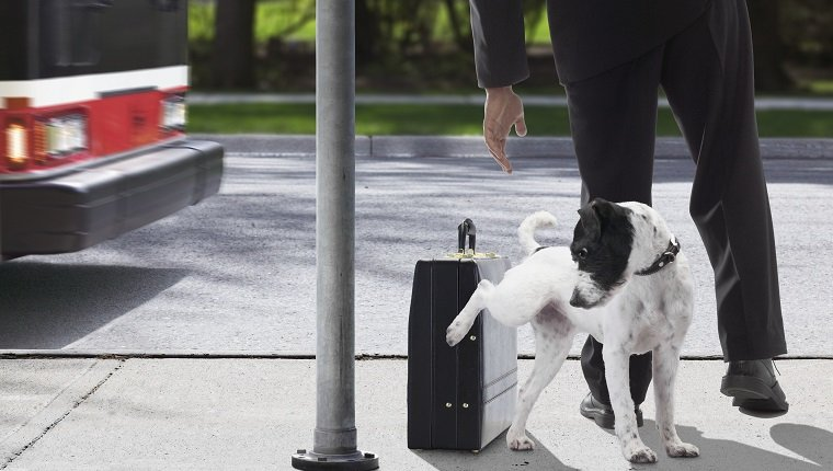 Dog urinating on businessman's briefcase at bus stop (blurred motion)