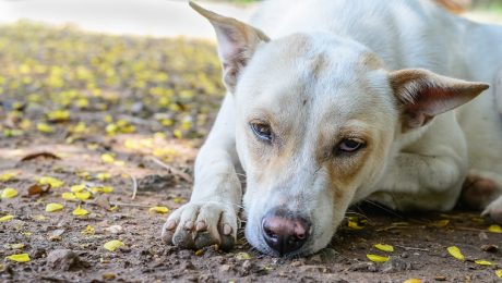 Uremia In Dogs: Symptoms, Causes, & Treatments
