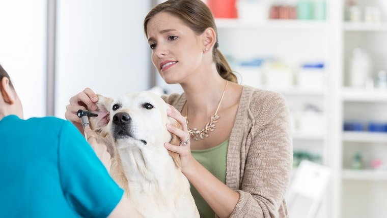 A concerned yellow lab owner stands beside her dog who is lying on an exam table at the vet and holds its ear out. The unrecognizable vet leans forward with an otoscope.