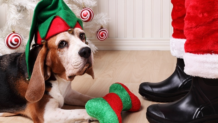 Cute old beagle dog wearing an elf hat in front of Santa