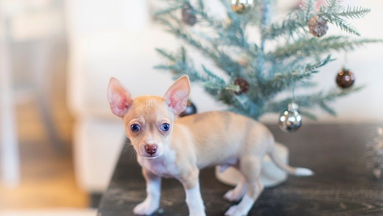 Seven week old chihuahua puppy on coffee table with small Christmas tree