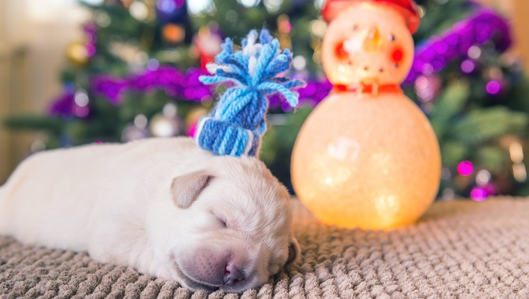 Horizontal image of a labrador puppy wearing a small hat and sleeping near Christmass tree and a snowman decoration