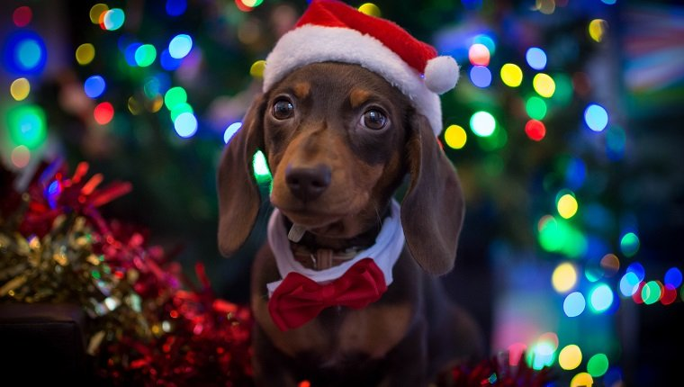 Puppy wearing a Santa hat at Christmas