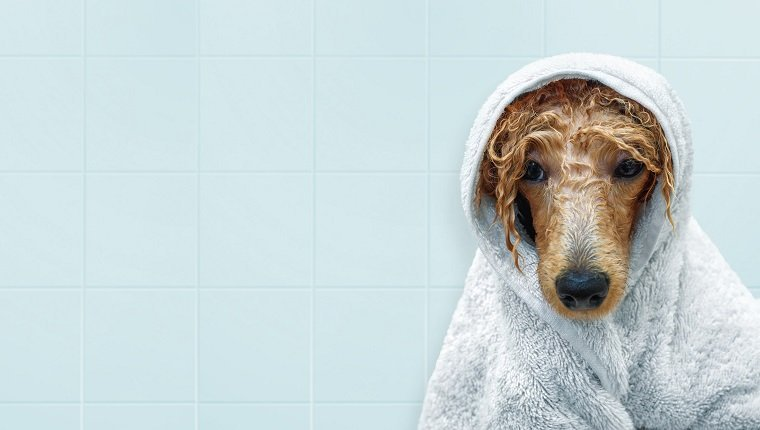 Wet poodle dog after the bath with a towel .