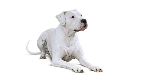 Dogo Argentino Dog Breed Information & Pictures – Dogtime