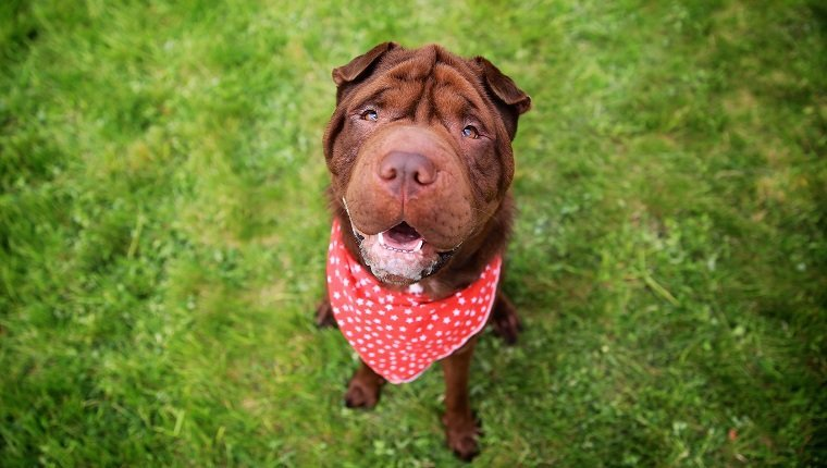 "Brown Shar Pai looking up towards the camera, wearing a red dotted bandanna.Shar Pei or Chinese Shar-Pei, is a breed of dog known for its distinctive features of deep wrinkles and a blue-black tongue. The breed comes from China and the name translates to ""sand skin"" and refers to the texture of its short, rough coat."