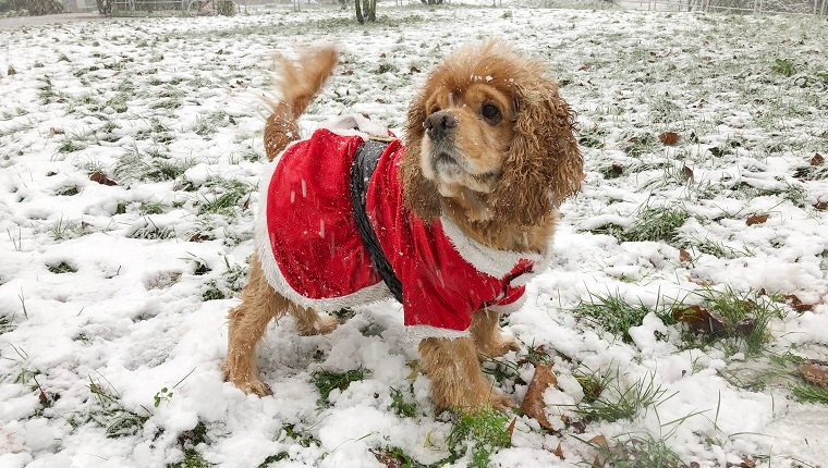 American Cocker Spaniel Dog dressed as Santa Claus