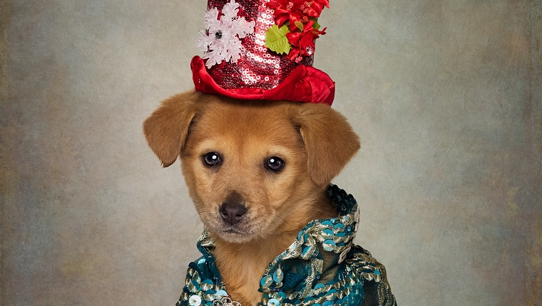 EL DORADO, AR - DECEMBER 2016: A puppy in a red hat and blue shirt, taken in El Dorado, Arkansas, December 2016. The dapper dogs in clothes are back with a second series, and theyre feeling festive. Earlier this year we were introduced to UCAPS' well dressed canines available for adoption. Photographer Tammy Swarek came up with the idea of dressing up rescue dogs to draw attention to their stories and help potential owners personally connect with them. Tammy, from Arkansas, drew her inspiration from Facebook after spotting another portrait project for sheltered animals. So she contacted her local dog shelter, the Union County Animal Protection Society (UCAPS) and has worked closely with shelter manager Tanja Jackson ever since. PHOTOGRAPH BY Tammy Swarek / Barcroft Images London-T:+44 207 033 1031 E:hello@barcroftmedia.com - New York-T:+1 212 796 2458 E:hello@barcroftusa.com - New Delhi-T:+91 11 4053 2429 E:hello@barcroftindia.com www.barcroftimages.com (Photo credit should read Tammy Swarek / Barcroft Images / Barcroft Media via Getty Images)