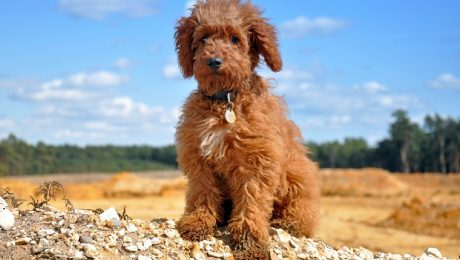 30 Of The Best Adorable Labradoodle Names