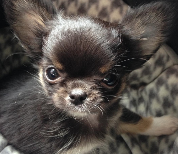 30 Mighty Awesome Names For Little Chihuahuas Dogtime