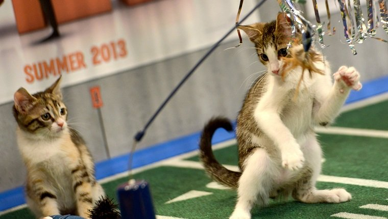 """**Embargoed til 2/5/2013** NEW YORK CITY, NY - NOVEMBER 11: Kittens play on the halftime set at the taping of Animal Planet's """"Puppy Bowl IX"""" program in New York City, NY on November 11, 2012. The mock football game will air as counter programming to the actual superbowl. On the internet, puppy bowl has been a huge sensation and now in it's 9th year. The puppies used in the show are from shelters and rescue organizations from across the country. The kittens in the half time show came from a shelter located in New York City. (Photo by Linda Davidson / The Washington Post via Getty Images)"""
