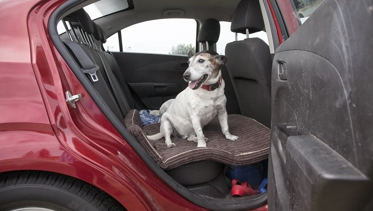 An old dog sitting inside the backseat of the car with door open.