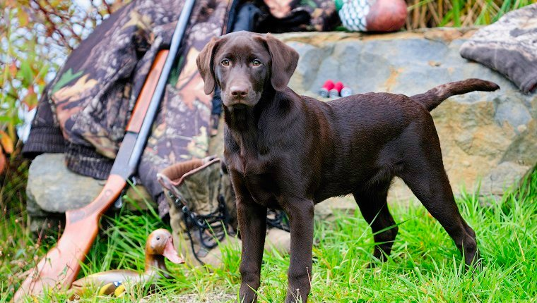Chocolate Lab beside a Cooey12 gauge single shot shotgun, a camouflage jacket and boots, Duncan, British Columbia, Canada.
