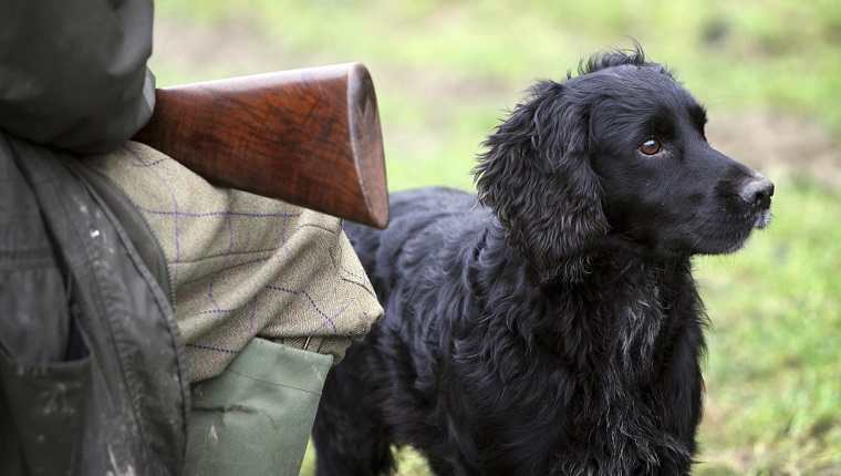 A pheasant shoot. An alert black trained gundog, a retriever beside a man seated with a gun on his knees.