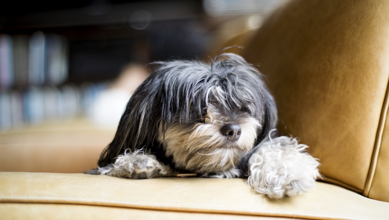Close-up of Havanese dog lying on chair, San Diego, California.