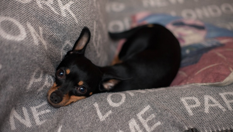Miniature pinscher dog relaxing on a sofa