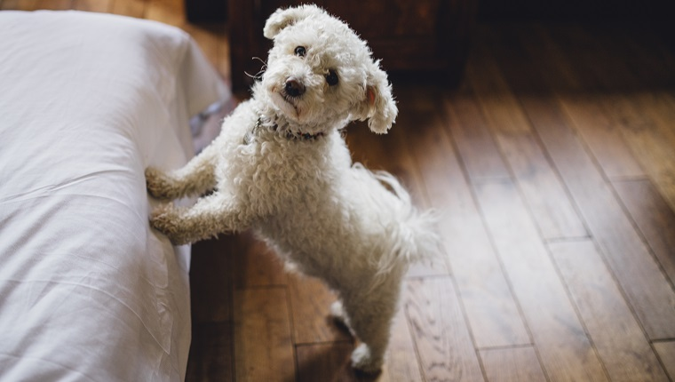 Bichon Frise dog trying to jump on to its owners bed. It is looking at the camera.