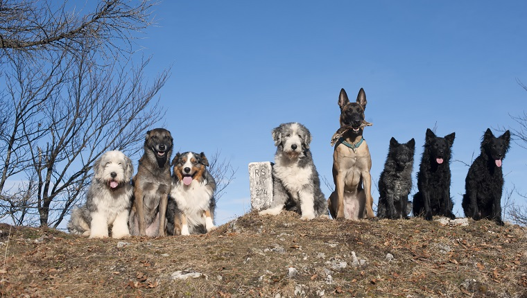 Eight purebred dogs sitting together on top of the hill. Spaying and neutering are important, even for purebreds.