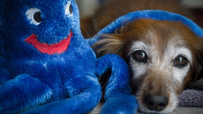 An aging red Dachshund and a blue plush.