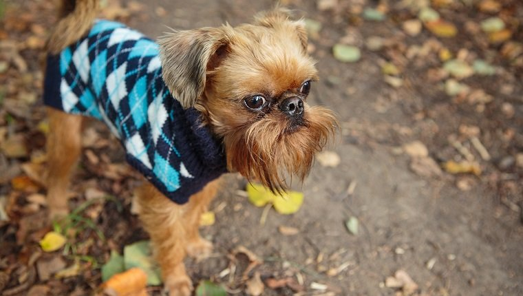 Brussels Griffon dog on a walk in the Park in autumn