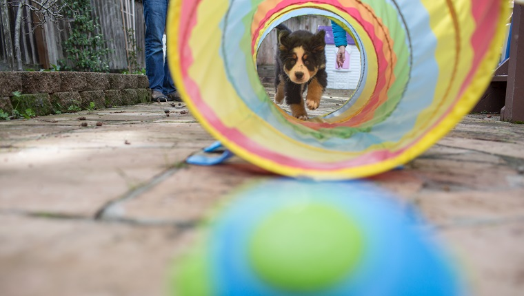 Young dog walking through childs play tunnel