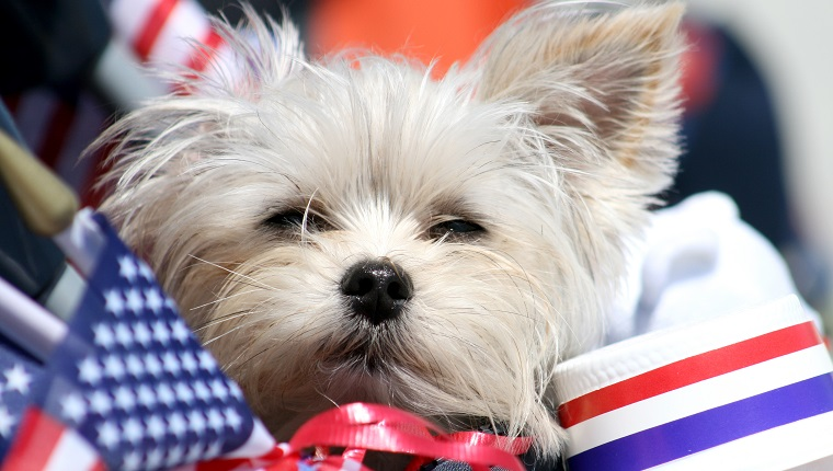 Dog surrounded by American flags