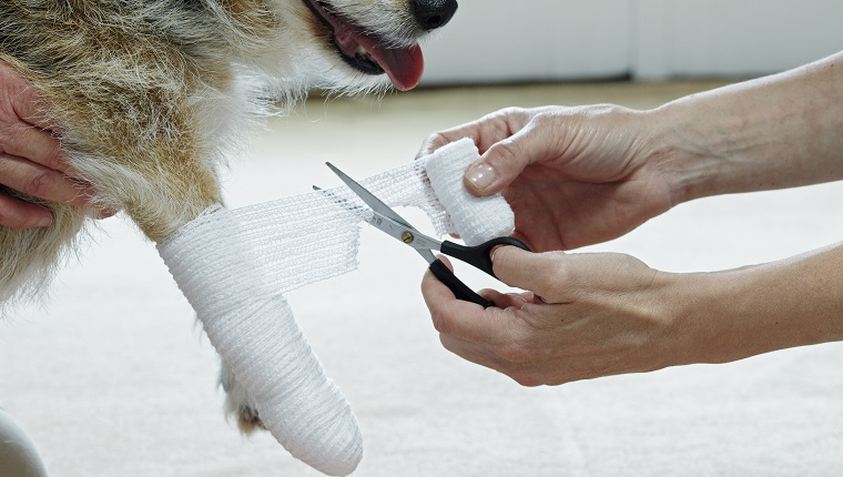 Applying bandage to Jack Russell paw using elasticated gauze bandage
