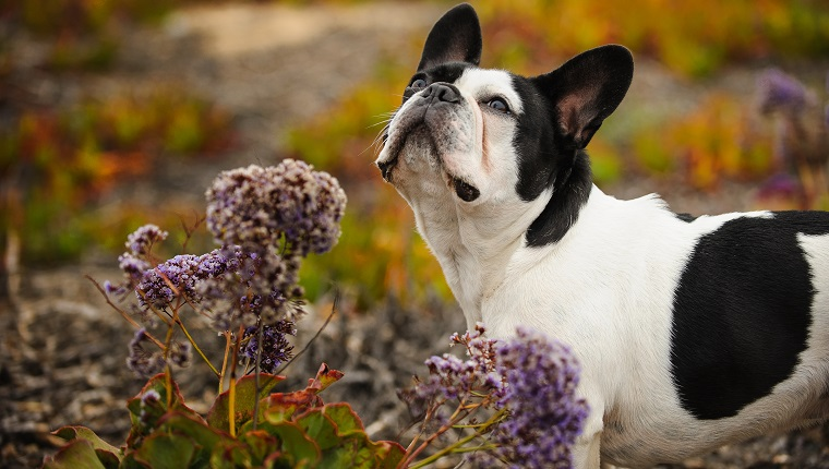 dog sniffing flowers