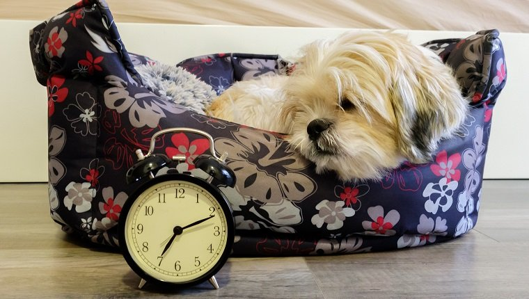 Dog lying in bed turning off an alarm clock in the morning at 7am