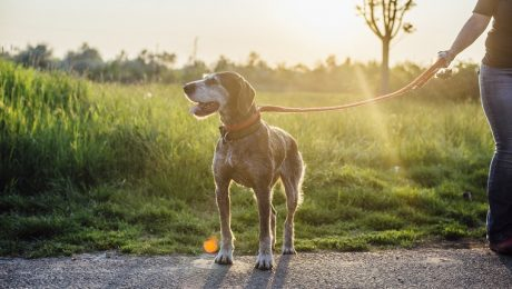 Gold Souls, Gray Faces: 7 Tips For Walking Senior Dogs